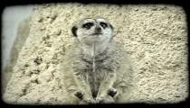 Lemur on ledge. Vintage stylized video clip.