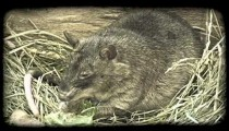Rat chews lettuce. Vintage stylized video clip.