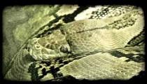 Snake rests. Vintage stylized video clip.