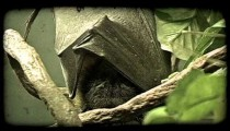 Bat sleeps. Vintage stylized video clip.