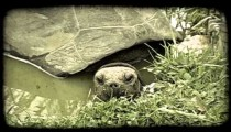 Turtle sits in water. Vintage stylized video clip.