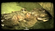 Hippo in water. Vintage stylized video clip.