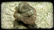 Orangutan sits. Vintage stylized video clip.
