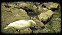 Ducks at pond. Vintage stylized video clip.