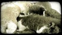 Kittens nurse. Vintage stylized video clip.
