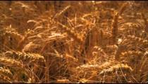 Rack focus shot of golden wheat.