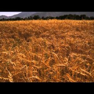 Tilting shot of golden wheat field and mountain.