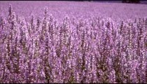 Panning shot of violet lupine field.