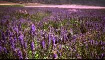 Tilting shot of field of violet lupins