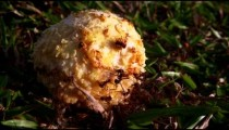 Ants swarming ball of food on ground