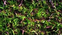 Ants walking through grass and carrying food