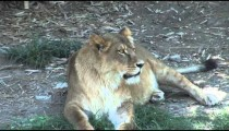 Zoo Lioness zooms