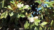 Magnolia Blossoms cu zoom 2