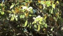 Magnolia Blossoms cu zoom