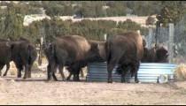 Buffalos at Trough
