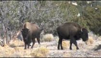 Buffalo Moves pans