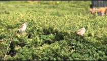 Finches in Hedge