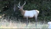 Elk Looks Grazes