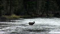 Elk in Stream backlight