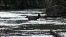 Elk in Stream backlight pan