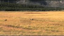 Elk in Open Field zoom