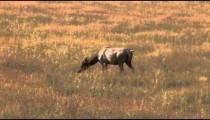 Elk in a Field pan