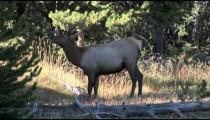 Elk Grazes