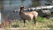 Elk by Stream