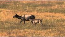 Elk and Calf in Field pan