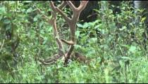 Elk in Forest cu