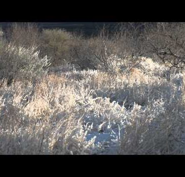 Snowy Desert Grass