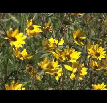 Golden Wild Flowers cu 2