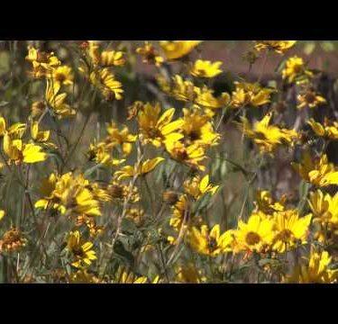 Golden Wild Flowers cu