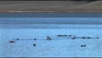 Ducks on Lake Dive
