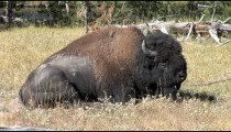 Buffalo Rests zoom