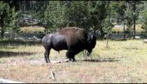 Buffalo in Profile zoom