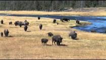 Buffalo Herd by River zoom 2