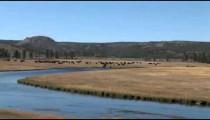 Buffalo Herd by River zoom