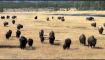 Buffalo Herd Approaches