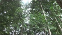 Forest Canopy pans