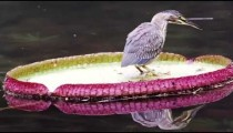 Static shot of bird on pink and green lily pad.