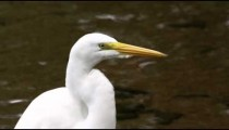 Closeup of white egret looking bird in rio, Brazil.