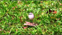 Close up shot of little bird resting on a leaf on the ground in Brazil.
