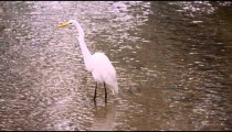 White bird wading in water in Rio.
