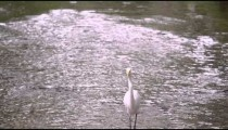 Shot of white egret-looking bird wading in water in Brazil.
