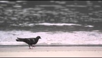 Shot of pigeon walking on the beach in Rio de Janeiro, Brazil