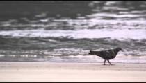 A pigeon walking on the beach in Rio de Janeiro, Brazil