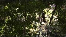 Capuchin monkey climbs down tree branches.