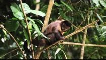 Capuchin monkey sitting on a tree branch sticks his tongue out.