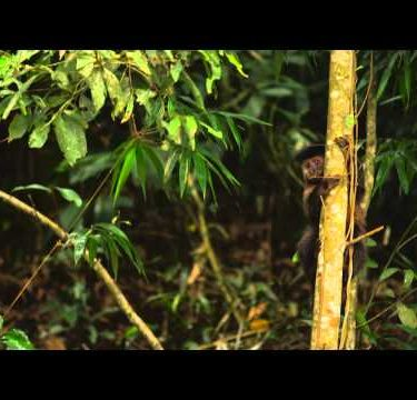 Pan jungle setting wih a Capuchin monkey moving down a tree trunk.